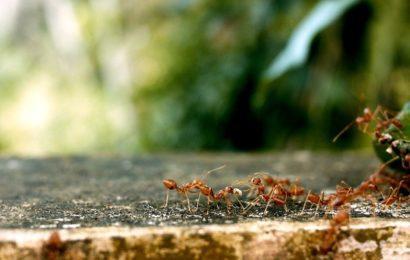 Jak se zbavit mravenců na zahradě?
