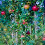 Víte, kdy sázet ovocné stromy a keře