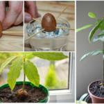 Jak vypěstovat avokádo z pecky? Funkční postup.