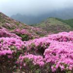 Azalka japonská – výsadba, pěstování, množení