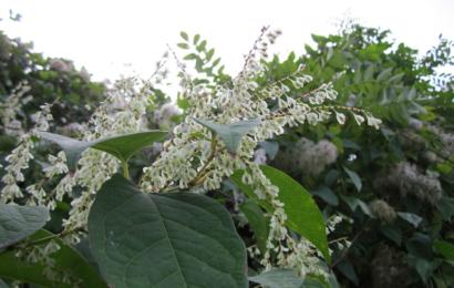 Křídlatka japonská – plevel i léčivá bylina